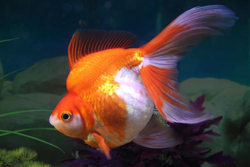 Fat Fancy Tail Goldfish   by nymawayca