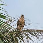灰面鵟鷹  Gray-faced Buzzard Hawk (Juvenile)