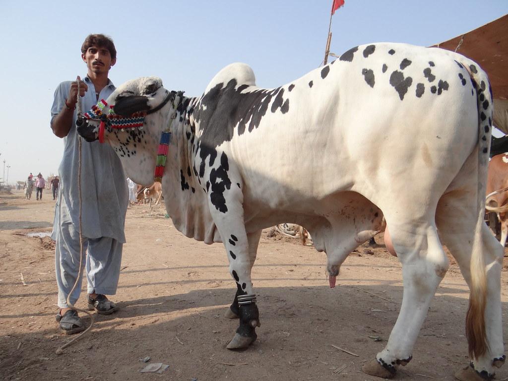 Bull For Sale In Karachi, Pakistan  October 2012, Karachi