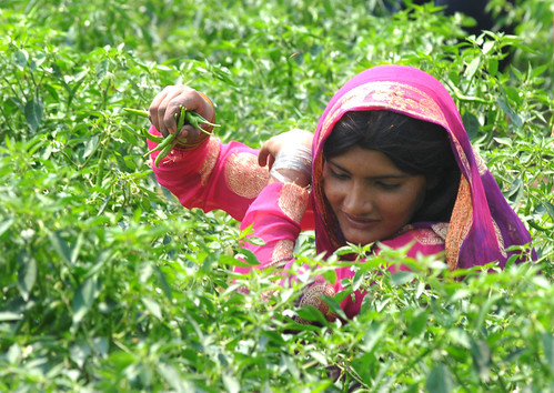 A worker plucking green chillies from vegetable fields | by World Bank Photo Collection