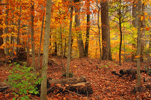 autumn trees nature leaves forest pennsylvania foliage creativecommons deciduous appalachiantrail leaflitter understory franklincounty michauxstateforest sugarmaples temperatedeciduousforest americanbeeches beartownwoodsnaturalarea bicentennialtreetrail mentzergap