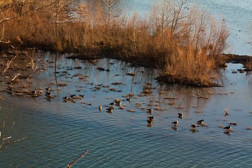 morning winter lake water sunrise dawn geese goose missouri springfield fowl