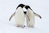 Adelie Penguins by rhysmarsh