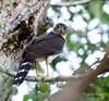Bicolored Hawk by rolando chdm