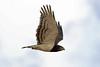 Black-breasted Snake-Eagle, Sakania, DRC by Terathopius