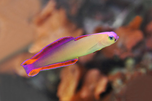 Dallas - Purple Firefish Goby   by Drriss & Marrionn