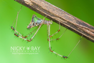 Comb-footed Spider (Meotipa sp.) - DSC_4124