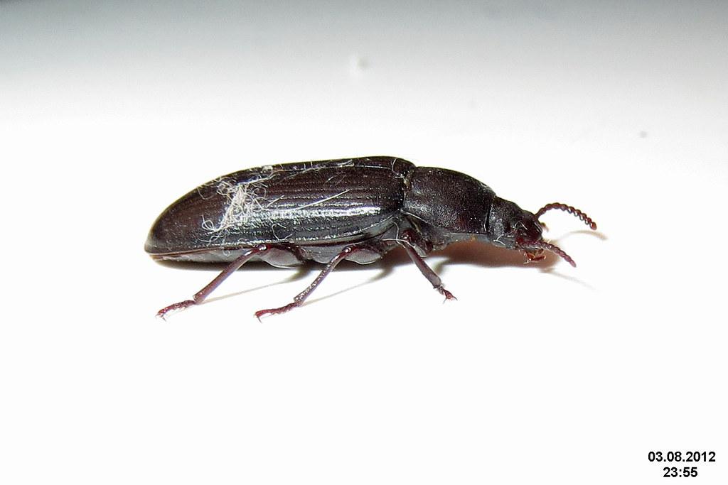 Adult mealworm beetle