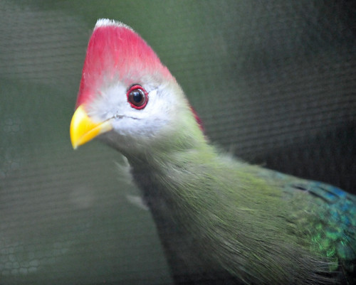 Red-crested Turaco (Tauraco erythrolophus) | by warriorwoman531