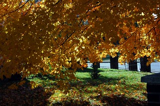 Sunshine on the golden leaves.   by kennethkonica