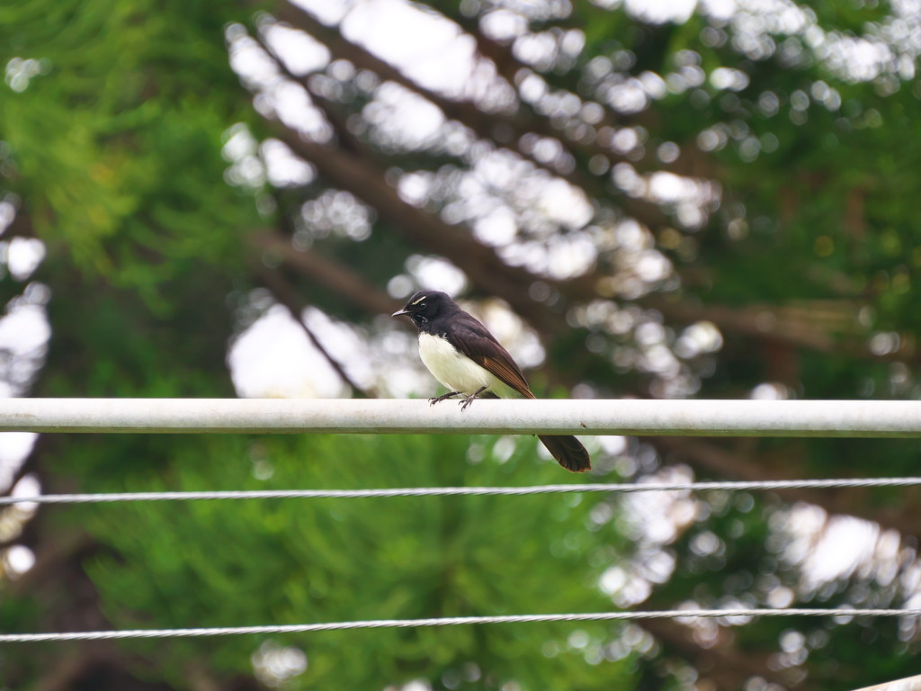 Wilie Wagtail on clothes line