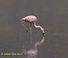 Chilean Flamingo,  Flamenco Chileno,  Phoenicopterus chilensis,  adult, by Graham Ekins