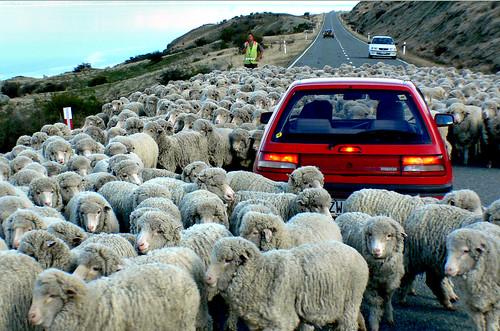 Traffic Jam. New Zealand style. | by Bernard Spragg