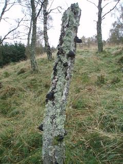 P12 Fungus on Birch trunk near Burnside