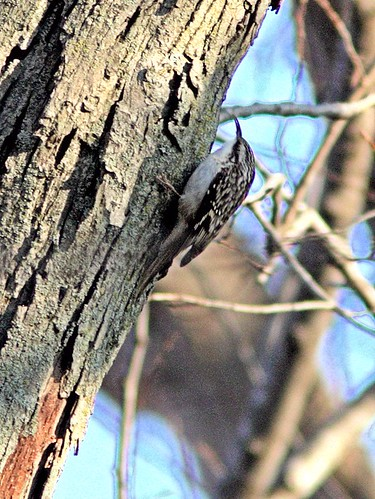 Brown Creeper Corel 20121025 | by Kenneth Cole Schneider