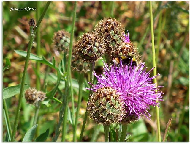 León 41 flor