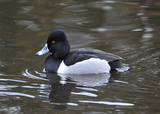 Ring-necked Duck (Aythya collaris) male | by R-Gasman