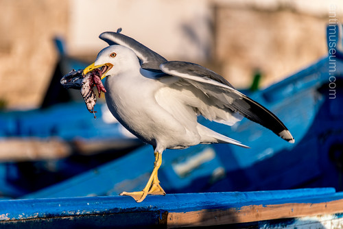 Seagull eating dead fish in Essaouira | by ygourvennec