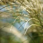 すすき (薄)/ Miscanthus sinensis