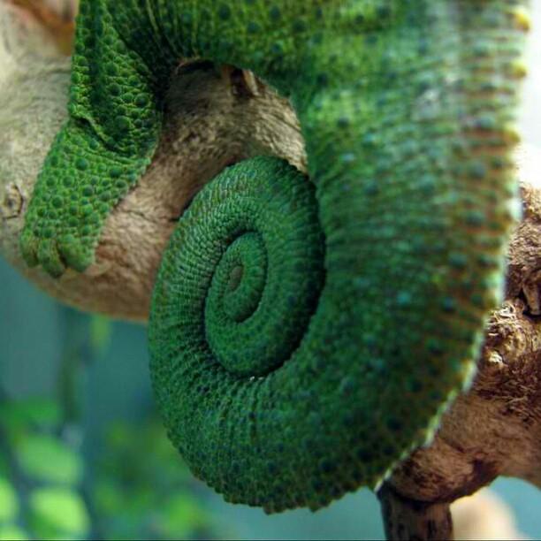 Jackson's Chameleon Tail. #chameleon #nofilter