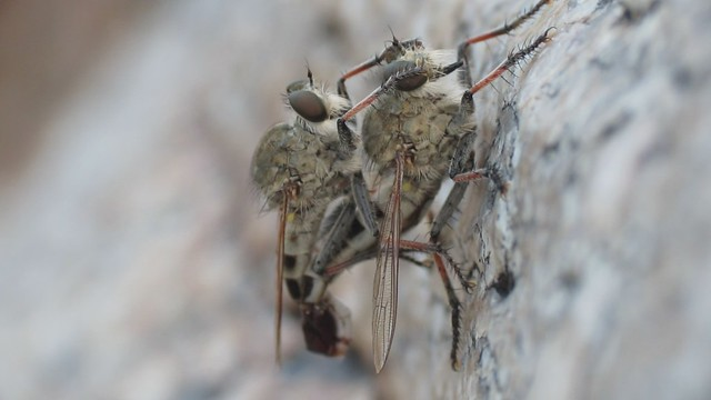 Efferia Mating