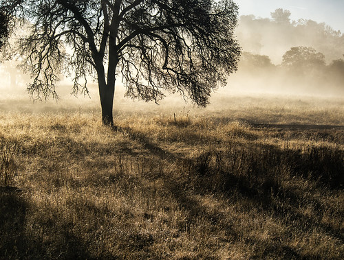 california morning trees foothills mist grass fog landscape oak shadows sierra oaks catheysvalley mercedcounty treesdiestandingup hornitosroad