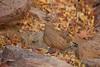 Hartlaub's Francolin (Pternistis hartlaubi), male by piazzi1969