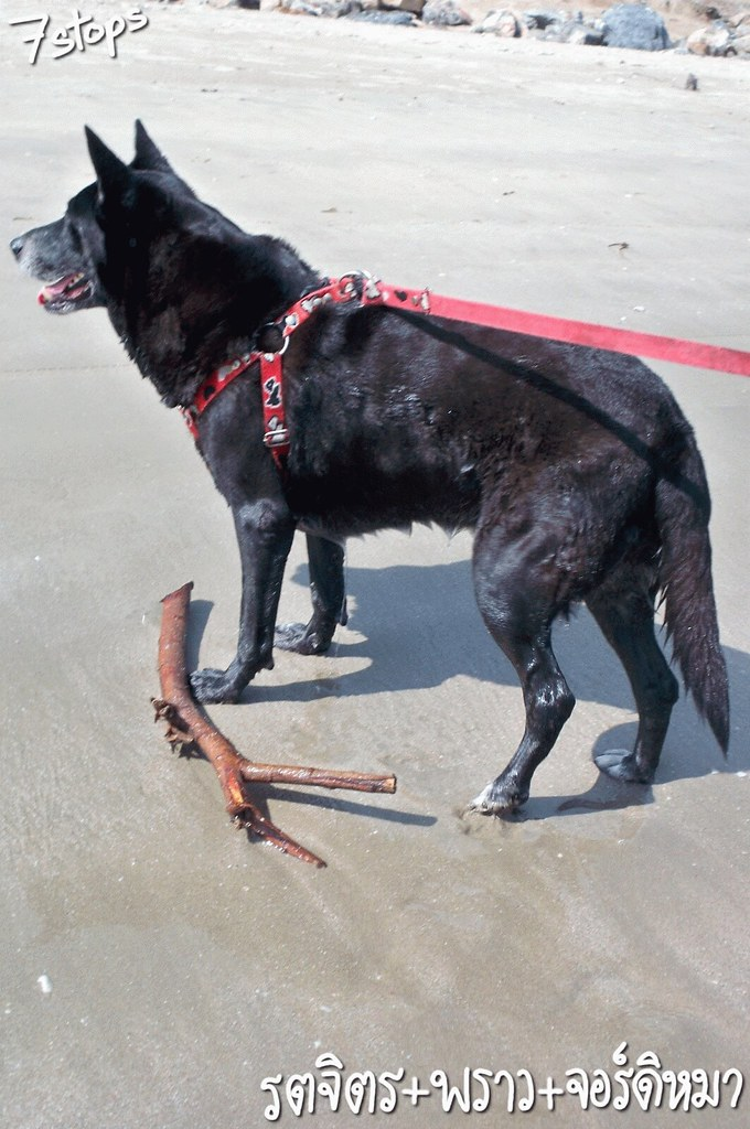 น้องหมา สุนัขที่ชายหาด