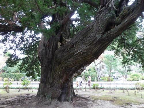 Sun, 11/11/2012 - 12:56 - 建長寺 - ビャクシンの巨木