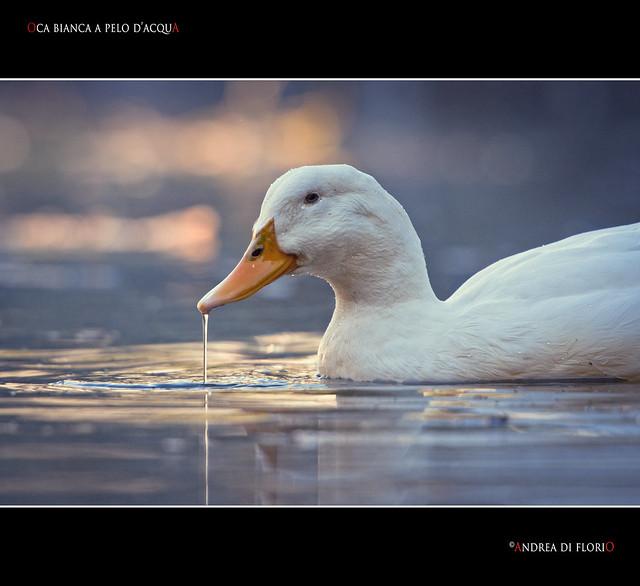 Oca bianca a pelo d'acqua