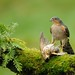 24th November 2012 Sparrowhawk Male with Song Thrush by Alan McFadyen
