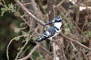 Pied kingfisher | by dmmaus