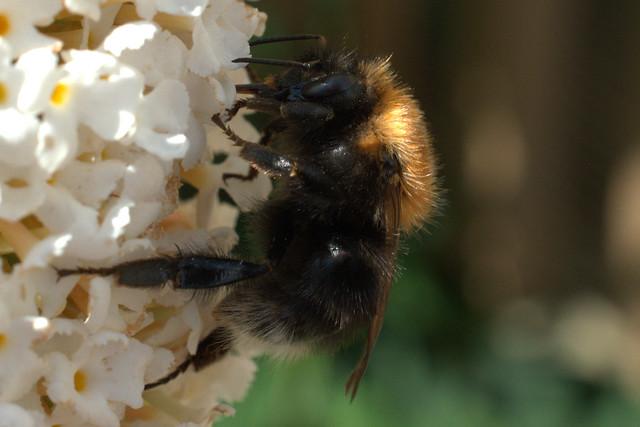 Field Bumblebee