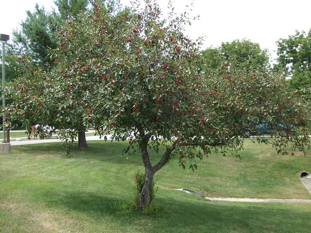 Cherry Tree in fruit, at Tippecanoe Amphitheater park in West Lafayette, IN