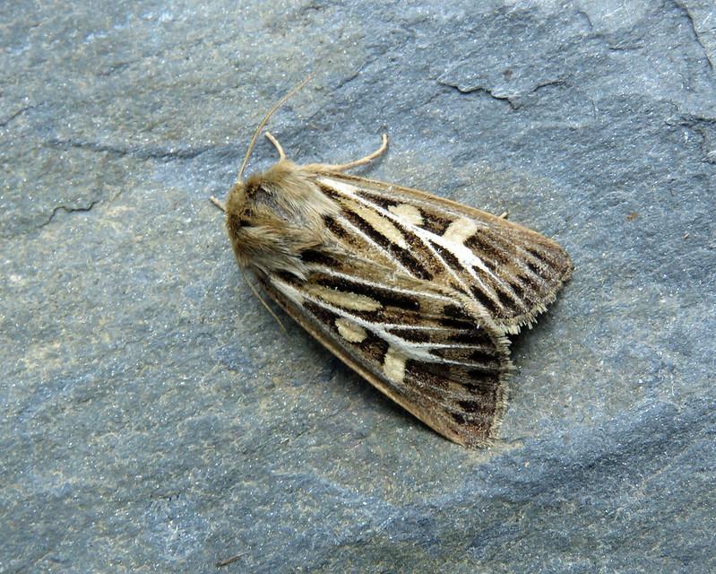 73.254 Antler Moth - Cerapteryx graminis