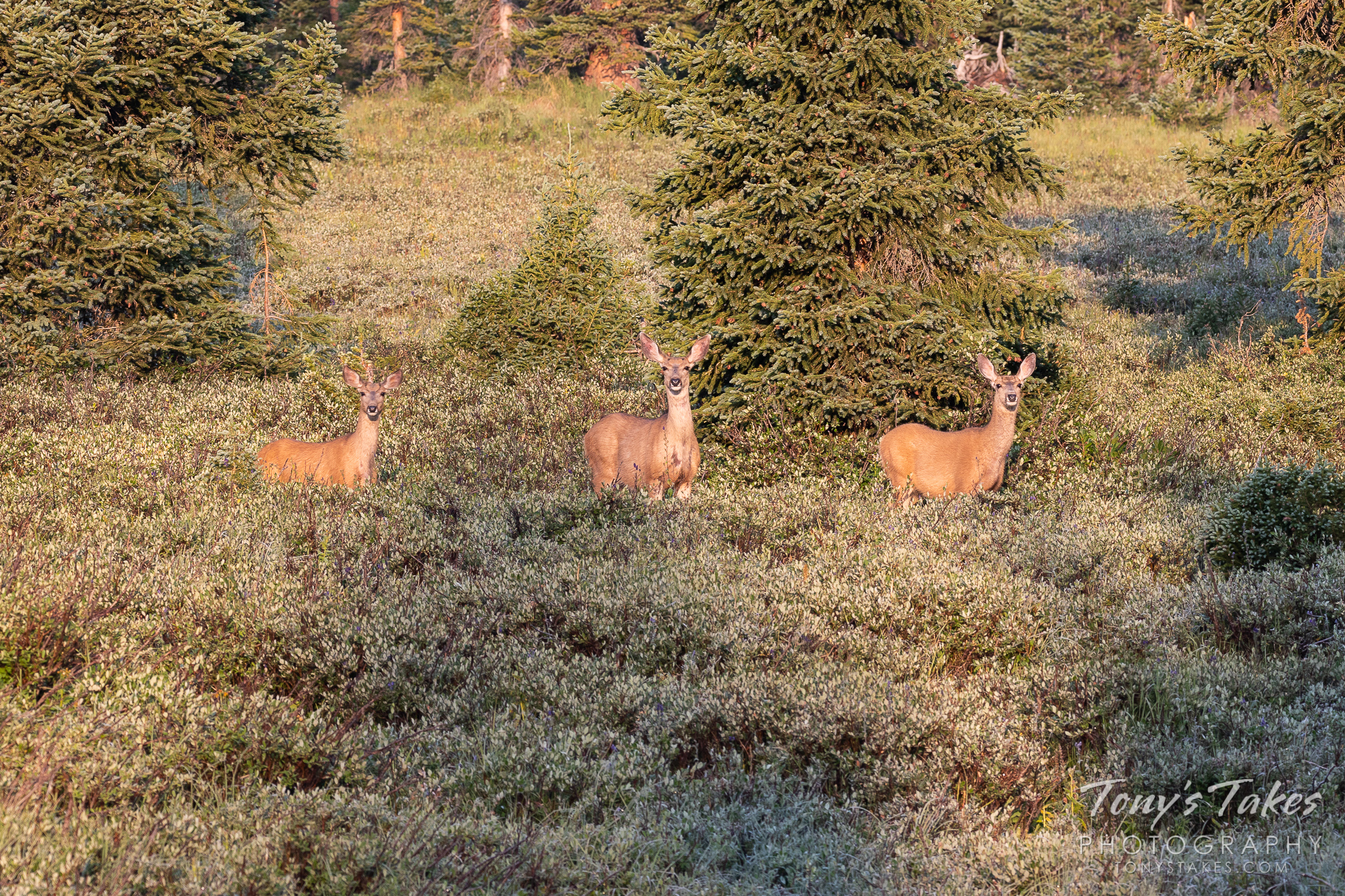A trio of Deer in the early morning light