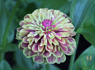 'Queen Lime with Blotch' Zinnia
