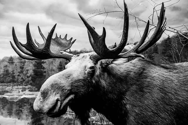 Bull Moose Taxidermy