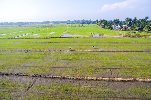 paddy field farmer spraying rice pesticide pesticides agriculture spray agricultural farmers fields green business view thai water plant landscape equipment worker farm top engine chemical aerial grow