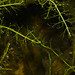 Flickr photo 'Utricularia gibba L.' by: Reinaldo Aguilar.