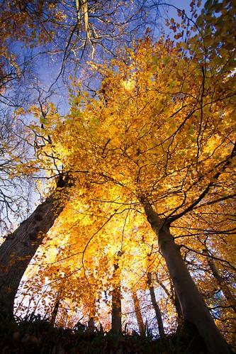 autumn trees leaves backlight photography golden seasons wideangle bluesky shimmering newlanark clydevalley gianttrees canon1740mm changingcolour thanksforviewing canon5dmkii upwardpov stuartstevenson ©stuartstevenson2012