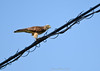 Nature and Wires -  Grey-faced Buzzard-Eagle by Okinawa Nature Photography
