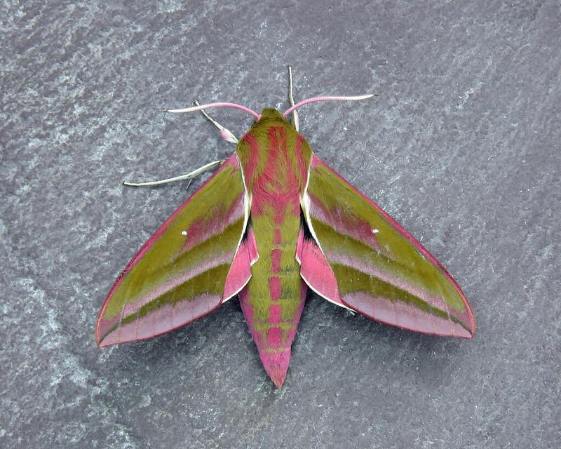 69.016 Elephant Hawk-moth - Deilephila elpenor