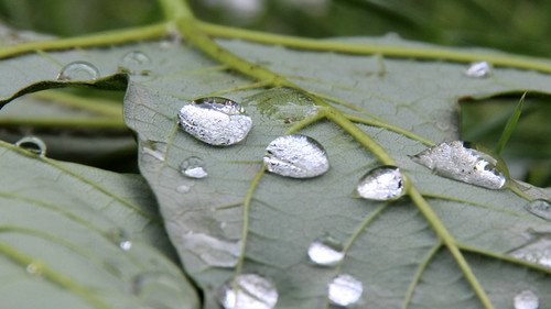 Raindrops on a maple leaf | by sepinos