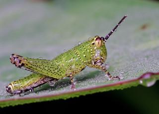 [IMGP0432-pp] Grasshopper | by JW Hisham Marmin