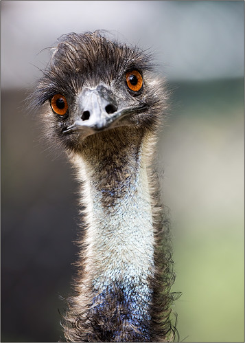 Emu | by rexboggs5