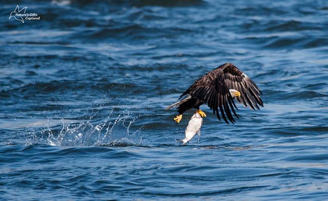 Conowingo Eagle