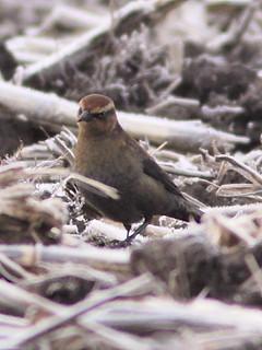 Rusty Blackbird female 3-20121115   by Kenneth Cole Schneider