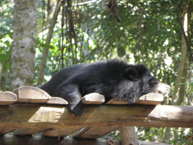 A snoozing sun bear in northern Laos