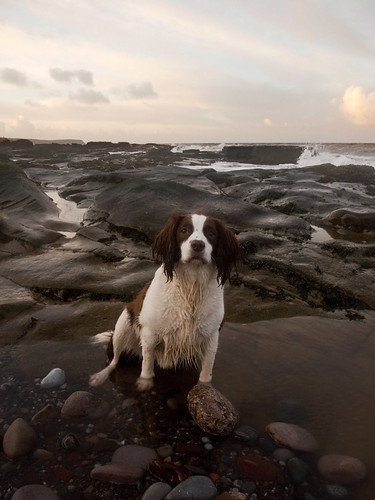 Paddy at the beach | by Alf Branch